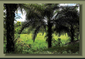 The Oil Palm Plantation in a Forest Farm Land in the central Osa Peninsula, good rainforest, Fresh Water Springs