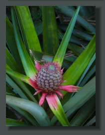 A young Pineapple Fruit is Growing in a Micro Farm of the Osa Peninsula, in the South of Costa Rica