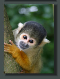 A Squirrel monkey, one of the four species of Monkey that live in the Lands and Properties of the Osa Peninsula, specially along the Beaches of the Oceanfront Lots and Lands
