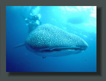 Whale Sharks are often presents in the warm waters of the Golfo Dulce, and the Owners of Oceanfront Properties and Lands can see them while Fish from boat